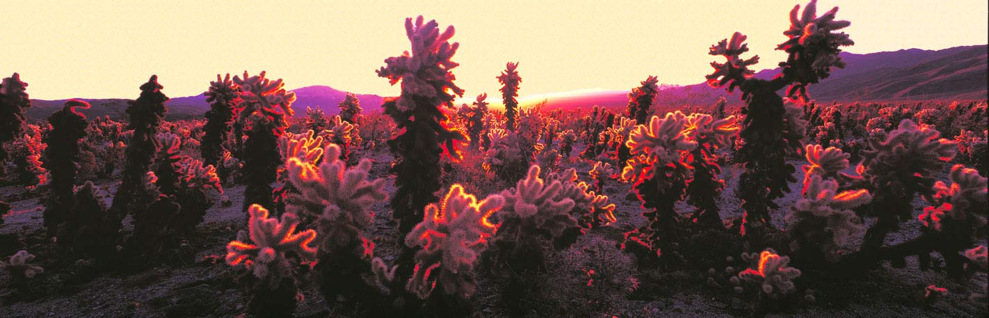 Panoramic Fine Art Photography ~ Panorama Landscape Photo Gallery ~ Cholla Cacti at Sunrise, Joshua Tree, National Park