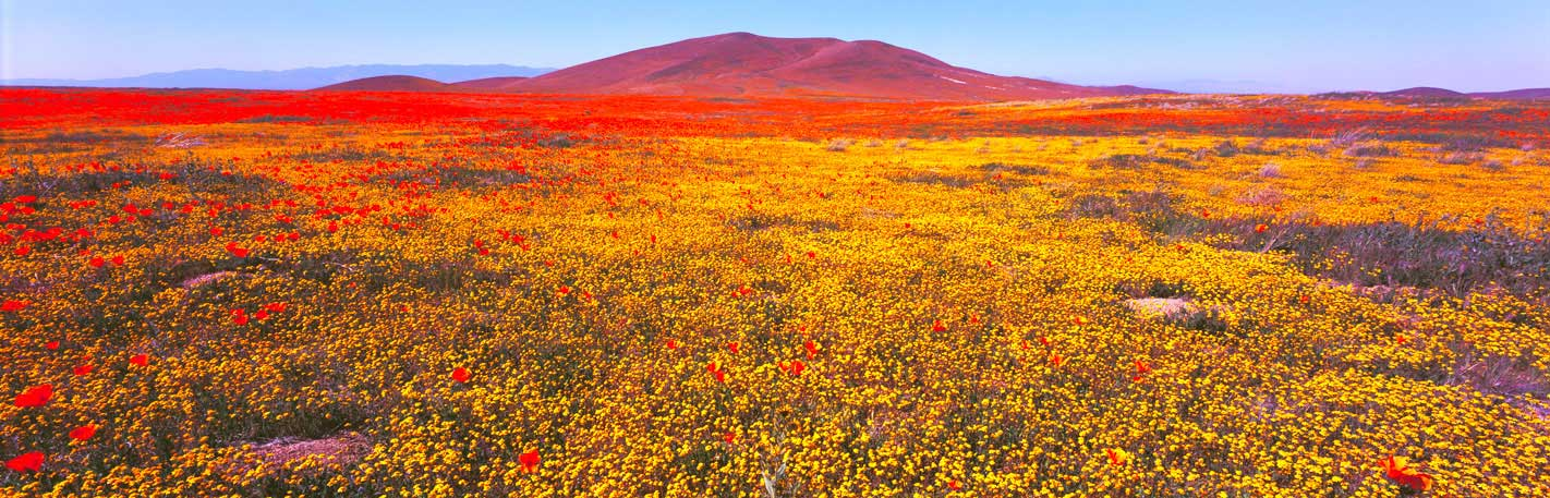 Panoramic Fine Art Landscape Photography Glorious Field of Poppies and Goldfields, Antelope Valley, Calif.