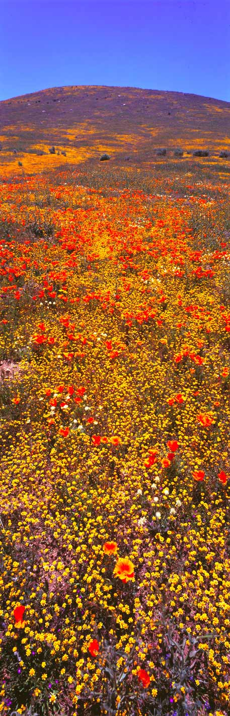 Panoramic Fine Art Photography Brilliant Wildflowers at Antelope Buttes, Antelope Valley, Calif.